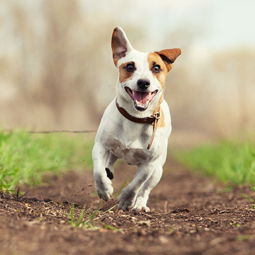 dog running on path