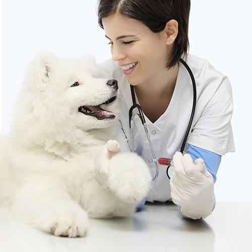 vet with eskimo dog on table